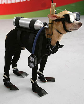 Scuba-diving-chihuahua-01