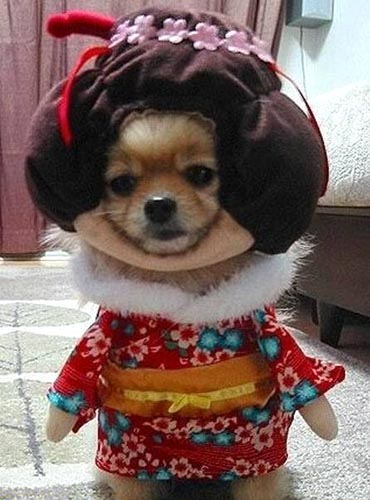 Geisha-dog